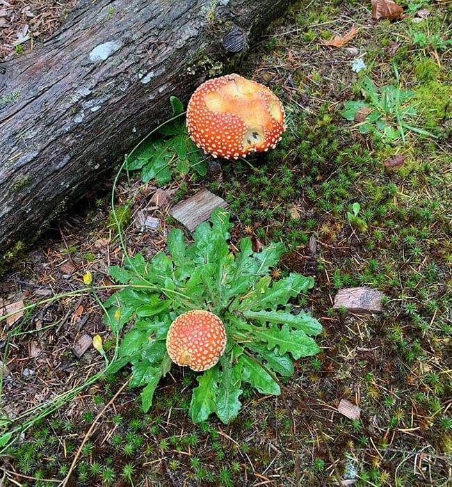 Amanita muscaria at Skelhp