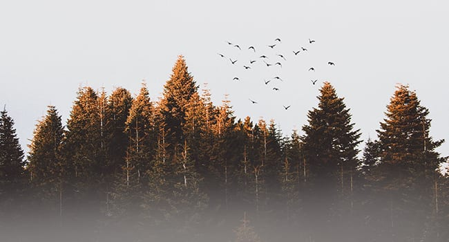 boreal forest pine trees birds
