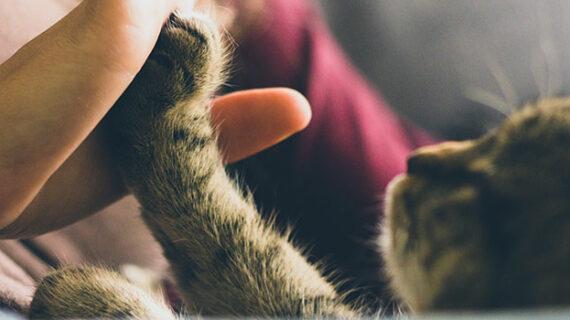 Antiviral used to treat cat coronavirus also works against COVID-19