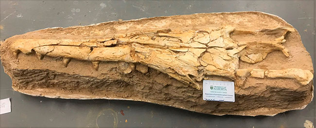 The fossilized skull of the newly identified mosasaur features a long, narrow snout and interlocking teeth, which suggest it adapted to hunt particular prey in a highly competitive ecosystem. (Photo: Catie Strong)