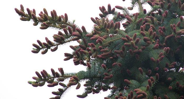black spruce pine cones