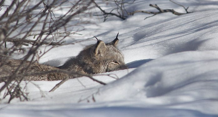 Scientists reveal the secret lives of Canada lynx