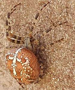 Cross Orbweaver spider bugs