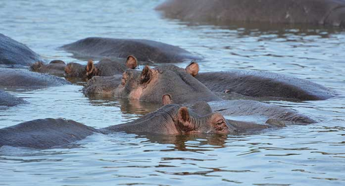bloat hippos nature wildlife animals