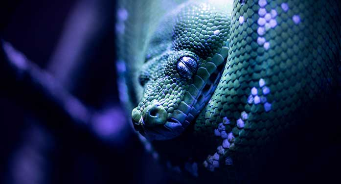 Venomous fangs evolved independently in vipers and cobras