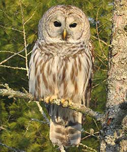Barred Owl nature wildlife bird